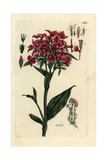 "Sweet William, Dianthus Barbatus, From Pierre Bulliard's ""Flora Parisiensis,"" 1776, Paris Giclee Print by Pierre Bulliard"
