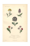 Golden Queen, Large Self-heal, Primrose, Clove Pink Or Carnation And Daisies Giclee Print by Edouard Maubert