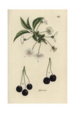 "Wild Cherry, Prunus Avium, From Pierre Bulliard's ""Flora Parisiensis,"" 1776, Paris Giclee Print by Pierre Bulliard"