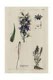 "Rampion Bellflower, Campanula Rapunculus, From Bulliard's ""Flora Parisiensis,"" 1776, Paris Giclee Print by Pierre Bulliard"
