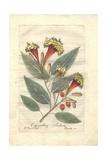 Cornucopian Shrub, Copianthus Indica Giclee Print by P. Maioli