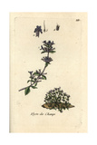 "Basil Thyme, Acinos Vulgaris, From Pierre Bulliard's ""Flora Parisiensis,"" 1776, Paris Giclee Print by Pierre Bulliard"