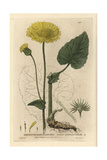 Great Leopard's Bane, Doronichus Pardalianches, From Baxter's British Phaenogamous Botany, 1835 Giclee Print by Isaac Russell