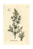 "Lady's Bedstraw, Galium Verum, From Pierre Bulliard's ""Flora Parisiensis,"" 1776, Paris Giclee Print by Pierre Bulliard"