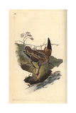 Snipe From Edward Donovan's Natural History of British Birds, London, 1817 Reproduction procédé giclée par Edward Donovan
