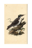 Three-toed Woodpecker From Edward Donovan's Natural History of British Birds, London, 1809 Giclee Print by Edward Donovan