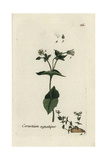 "Water Chickweed, Cerastium Aquaticum, From Pierre Bulliard's ""Flora Parisiensis,"" 1776, Paris Giclee Print by Pierre Bulliard"