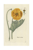 "Yellow Hornpoppy, Glaucium Flavum, From Pierre Bulliard's ""Flora Parisiensis,"" 1776, Paris Giclee Print by Pierre Bulliard"