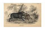 Wild Boar Giclee Print