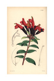 Lipstick Plant, Aeschynanthus Lobbianus Giclee Print by Walter Hood Fitch