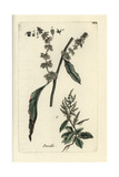 "Curled Dock, Rumex Crispus, From Pierre Bulliard's ""Flora Parisiensis,"" 1776, Paris Giclee Print by Pierre Bulliard"