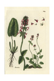 "Purple Betony, Stachys Officinalis, From Pierre Bulliard's ""Flora Parisiensis,"" 1776, Paris Giclee Print by Pierre Bulliard"