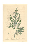 Wormwood, Artemisia Absinthium, From William Baxter's British Phaenogamous Botany, Oxford, 1839 Giclee Print by Charles Mathews