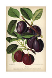 Plum Cultivars: Late Diamond And Reine Claude Du Comte Hathem, Prunus Domestica Giclee Print by Walter Hood Fitch
