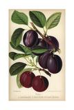 Plum Cultivars: Late Diamond And Reine Claude Du Comte Hathem, Prunus Domestica Giclee Print by Walter Hood Fitch