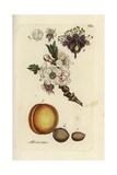 Apricot, Prunus Armeniaca Giclee Print by Pierre Bulliard