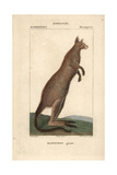 Eastern Grey Kangaroo From Frederic Cuvier's Dictionary of Natural Science: Mammals, Paris, 1816 Giclee Print
