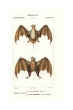 Egyptian Free-tailed Bat, Tadarida Aegyptiaca, And Red Fruit Bat, Stenoderma Rufum Giclee Print by Jean Gabriel Pretre