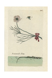 "Water Crowfoot, Ranunculus Aquatilis, From Pierre Bulliard's ""Flora Parisiensis,"" 1776, Paris Giclee Print by Pierre Bulliard"