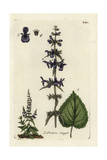 "Hedge Woundwort, Stachys Sylvatica, From Pierre Bulliard's ""Flora Parisiensis,"" 1776, Paris Giclee Print by Pierre Bulliard"