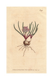 Cape Hyacinth, with Bulb, Scarlet Leaves, And Pale Pink Flowers, Polyzena Corymbosa Giclee Print by Sydenham Edwards