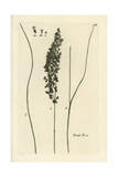 "Narrow-leaved Meadow-grass, Poa Angustifolia, From Bulliard's ""Flora Parisiensis,"" 1776, Paris Giclee Print by Pierre Bulliard"