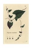"Black Bindweed, Fallopia Convolvulus, From Pierre Bulliard's ""Flora Parisiensis,"" 1776, Paris Giclee Print by Pierre Bulliard"