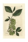 """Field Elm Tree, Ulmus Campestris, From Pierre Bulliard's """"Flora Parisiensis,"""" 1776, Paris Giclée-Druck von Pierre Bulliard"""
