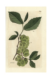 "Field Elm Tree, Ulmus Campestris, From Pierre Bulliard's ""Flora Parisiensis,"" 1776, Paris Giclee Print by Pierre Bulliard"