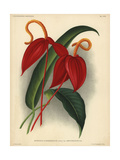 Crimson Flamingo Flower Or Anthurium Lily Giclee Print