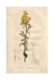Goldenrod, Solidago Virgaurea Giclee Print by William Clark