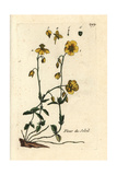 "Rockrose, Helianthemum Nummularium, From Pierre Bulliard's ""Flora Parisiensis,"" 1776, Paris Giclee Print by Pierre Bulliard"