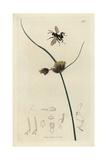 Smiera Macleanii, Chalcis Biguttata, Essex Chalcis Fly, with Salt-marsh Club-grass Giclee Print by John Curtis