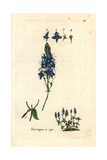 "Spike Speedwell, Veronica Spicata, From Pierre Bulliard's ""Flora Parisiensis,"" 1776, Paris Giclee Print by Pierre Bulliard"