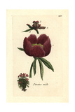 "Common Peony, Paeonia Officinalis, From Pierre Bulliard's ""Flora Parisiensis,"" 1776, Paris Giclee Print by Pierre Bulliard"