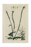 "Hedge Mustard, Sisymbrium Officinale, From Pierre Bulliard's ""Flora Parisiensis,"" 1776, Paris Giclee Print by Pierre Bulliard"
