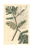 Two-spiked Acacia, Acacia Lophantha Giclee Print by John Curtis