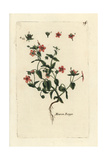 "Scarlet Pimpernel, Anagallis Arvensis, From Pierre Bulliard's ""Flora Parisiensis,"" 1776, Paris Giclee Print by Pierre Bulliard"
