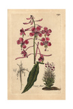 "Rosebay Willowherb, Epilobium Angustifolium, From Bulliard's ""Flora Parisiensis,"" 1776, Paris Giclee Print by Pierre Bulliard"