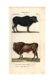 Water Buffalo, Bubalus Bubalis, And Extinct Auroch, Bos Urus Giclee Print by Jean Gabriel Pretre