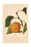 Ripe Fruit And Leaves of the Moorpark Apricot, Prunus Armeniaca Giclee Print