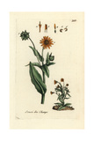 "Field Marigold, Calendula Arvensis, From Pierre Bulliard's ""Flora Parisiensis,"" 1776, Paris Giclee Print by Pierre Bulliard"
