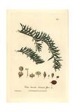 Yew Tree, Taxus Baccata, From William Baxter's British Phaenogamous Botany, 1837 Giclee Print by Charles Mathews