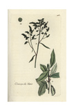 "Lamb's Quarters, Chenopodium Album, From Pierre Bulliard's ""Flora Parisiensis,"" 1776, Paris Giclee Print by Pierre Bulliard"