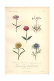 Pink Thlaspi, Calandrina, Silene Coeli-rosa, Everlasting, And Love in a Mist Giclee Print by Edouard Maubert