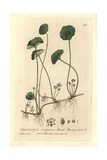 Marsh Pennywort, Hydrocotyle Vulgaris, From William Baxter's British Phaenogamous Botany, 1835 Giclee Print by Charles Mathews