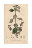 White Horebound, Marrubium Vulgare Giclee Print by G. Reid