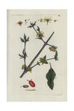 "European Cornel, Cornus Mas, Ffrom Pierre Bulliard's ""Flora Parisiensis,"" 1776, Paris Giclee Print by Pierre Bulliard"
