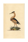 Little Bittern From Edward Donovan's Natural History of British Birds, London, 1799 Reproduction procédé giclée par Edward Donovan