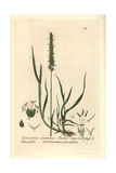 Crested Dogs-tail Grass, Cynosurus Cristatus, From Baxter's British Phaenogamous Botany, 1836 Giclee Print by Charles Mathews